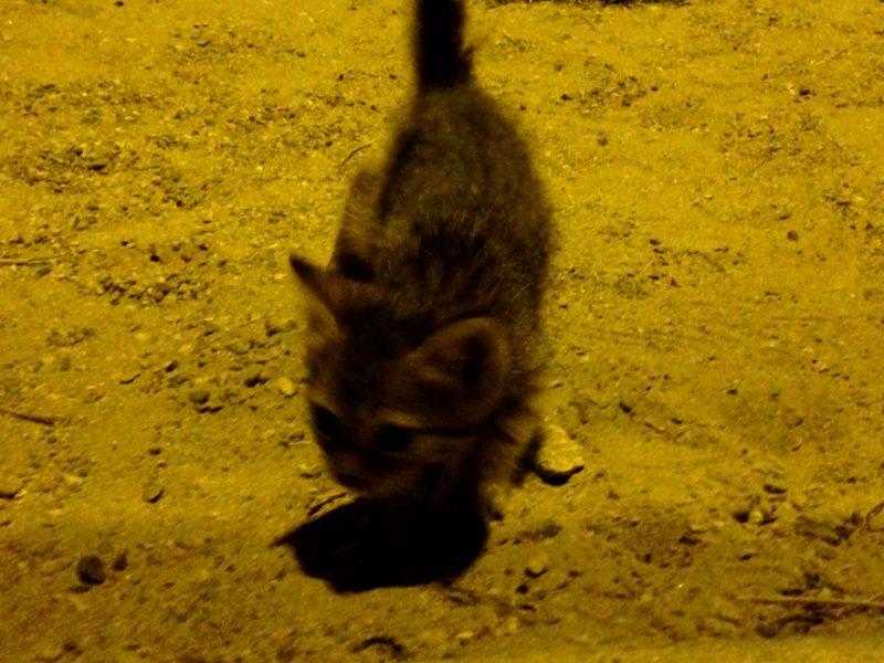 южный кот